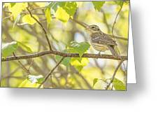 Female Rose-breasted Grosbeak Greeting Card