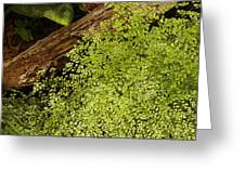Fern Adiantum Microphyllum.  Greeting Card