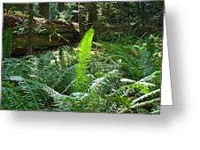 Ferns Sunlit Redwood Forest Fern Giclee Art Prints Baslee Troutman Greeting Card