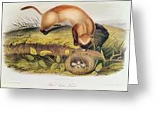 Ferret Greeting Card by John James Audubon