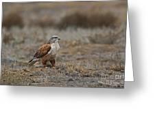 Ferruginous Hawk In Field Greeting Card