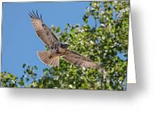 Young Hawk Soaring Greeting Card