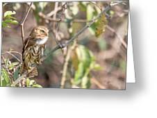 Ferruginous Pygmy-owl Greeting Card