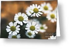 Feverfew Plant Greeting Card