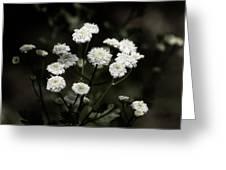 Feverfew - Tanacetum Parthenium Greeting Card
