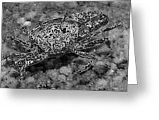 Fiddler Crab - Black N White - Photosbydm Greeting Card