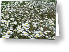 Field Dasies Greeting Card