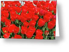 Field Of Brilliant Red Tulip Flowers In A Garden Greeting Card