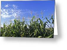 Field Of Corn Against A Clear Blue Sky Greeting Card