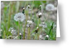 Dandelions In Seed Greeting Card