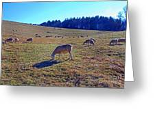 Field Of Ewes Greeting Card