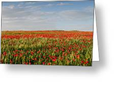 Field Of Red Poppy Anemones Late In Spring  Greeting Card