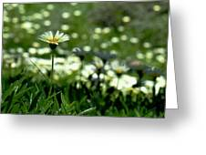 Field Of White Daisies Greeting Card