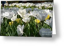 Field Of White Tulips Greeting Card
