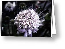 Field Scabious. A Member Of The Greeting Card
