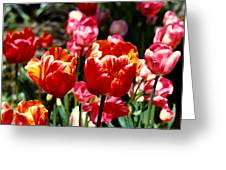 Field Tulips  Greeting Card