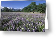Fields Of Lupine And Owl Clover Greeting Card