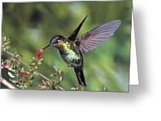 Fiery-throated Hummingbird Panterpe Greeting Card
