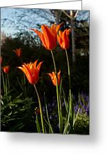 Fiery Tulips Greeting Card