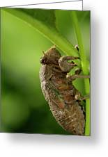 Final Instar Of A Cicada Emerging From The Ground To Molt On A L Greeting Card