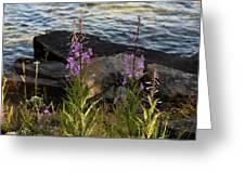 Fire Weed Looking At Lake Superior Greeting Card
