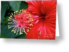 Fireworks - Hibiscus Greeting Card