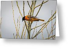 First Baltimore Oriole Of The Year  Greeting Card