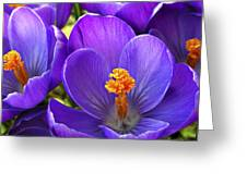 First Crocus Greeting Card
