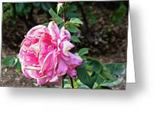 First Prize Rose Hybrid Tea Greeting Card