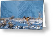 First Rut Mule Deer Buck Greeting Card
