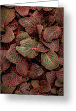 Fittonia Greeting Card