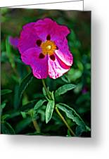 Orchid Rock Rose At Pilgrim Place In Claremont-california  Greeting Card