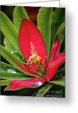 Flame Of Jamaica Greeting Card
