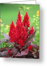 Flames Of Celosia Greeting Card