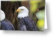 Flamingo Gardens - Focused Bald Eagle Greeting Card