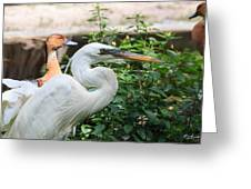 Flamingo Gardens - Great Egret Profile Greeting Card