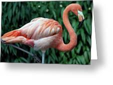 Flamingo Portrait Greeting Card
