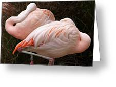 Flamingo Siesta Greeting Card