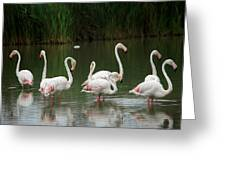 Flamingoes And Their Reflections Greeting Card