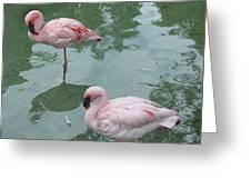 Flamingoes Posing Greeting Card