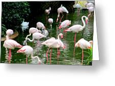 Flamingos 6 Greeting Card