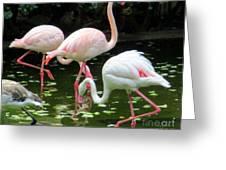 Flamingos 8 Greeting Card