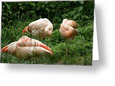 Flamingo's At Rest Greeting Card