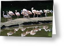 Flamingos With Reflection Greeting Card