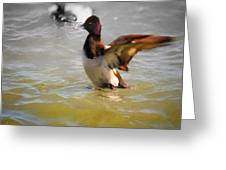 Flapping Lesser Scaup Greeting Card