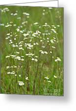 Fleabane In The Meadow Greeting Card