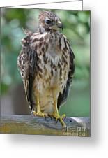 Fledgling Hawk Greeting Card