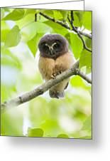 Fledgling Saw-whet Owl Greeting Card