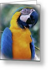 Flirtacious Macaw Greeting Card
