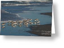 Flock Of Sanderlings Greeting Card